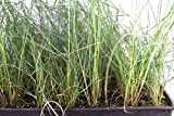Pink Muhly Grass Capillaris Live 2 Plant Pack 7-12 Inches Tall 7-12 Month Old from Seed