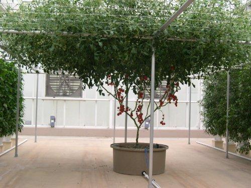 40-ITALIAN-TREE-TOMATO-Trip-L-Crop-Lycopersicon-Lycopersicum-Fruit-Vegetable-Seeds