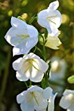 Seeds flowers bells Campanula persicifolia mix from Ukraine 0.1 gram