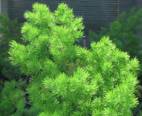 Asparagus Ferns (Asparagus retrofractus - Ming Asparagus Fern - 10 seeds)