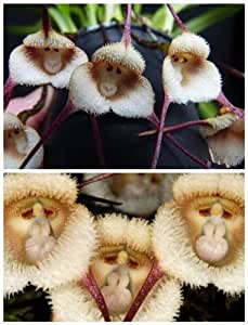 10pcs Monkey Face Orchid Flower Seeds Plant Seed Bonsai Home Garden HOT M GAC