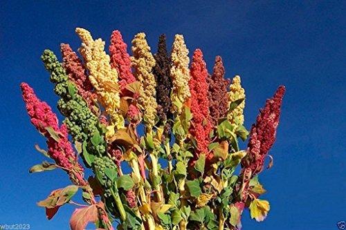 (Chenopodium quinoa plant Seeds- Rainbow -Hot pink Red,Orange,Yellow,White,Green)