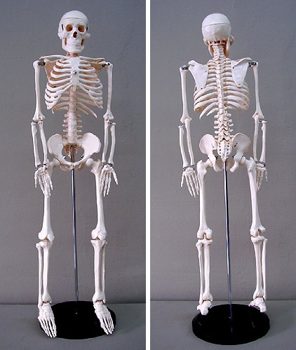 Jack Richeson Skeleton Model, Medium