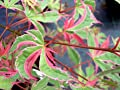 Kagiri Nishiki Japanese Maple - Heavily Variegated Red White And Green Leaves - 3 - Year Plant