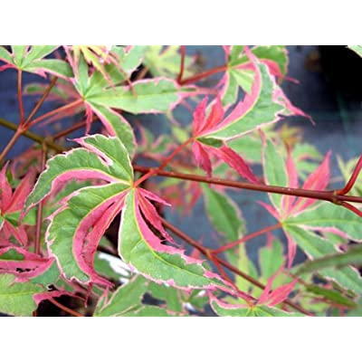 KAGIRI NISHIKI JAPANESE MAPLE - HEAVILY VARIEGATED RED WHITE AND GREEN LEAVES - 3 - YEAR PLANT : Garden & Outdoor