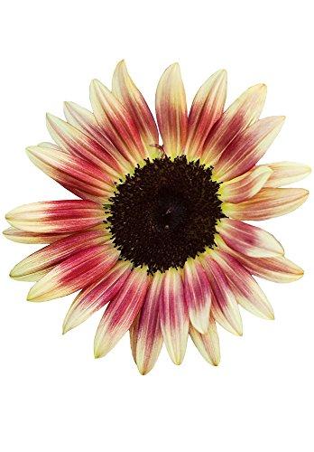(Burpee Strawberry Blonde Sunflower Seeds 30 seeds )