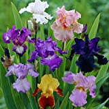 Van Zyverden Iris Germanica Breeder's Choice Mixture Set of 5 Roots