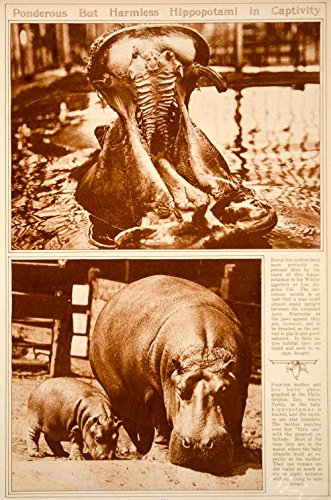 1923 Rotogravure Hippopotamus Baby Hippo Hippopotami Zoo Mammal Animal Wildlife - Original Rotogravure from PeriodPaper LLC-Collectible Original Print Archive