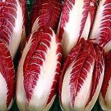 Radicchio Rossa Di Treviso Non GMO Italian Heirloom 15 Seeds