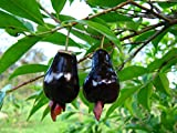 M-Tech Gardens Rio Grande Cherry Fruit Eugenia involucrata Fruit Seed for Growing 10 Seeds/Bag