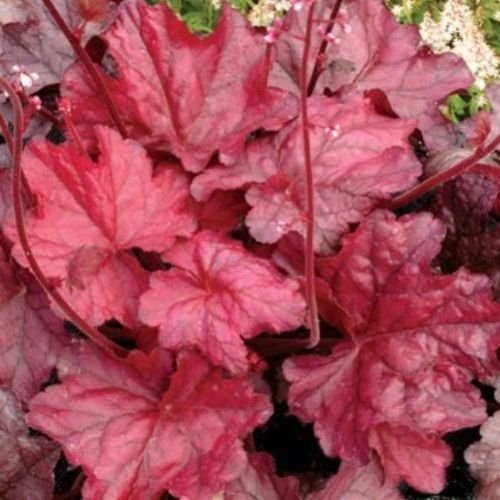 (Heuchera FIRE Chief red villosa Cute Coral Bells 2.5