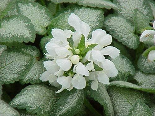 'White Nancy' (Deadnettle) ground cover