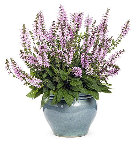 (Color Spires Pink Dawn Meadow Sage - Salvia - Gallon Pot - Proven Winners by AchmadAnam)