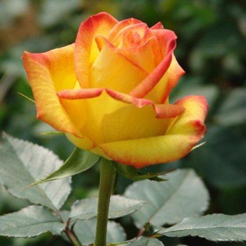 50 Pcs Yellow Rose Seeds DIY Home Garden ()