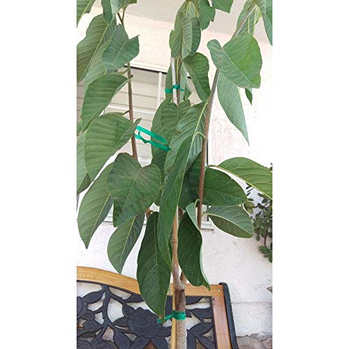 Atemoya Tropical Fruit Trees 5-6 Feet Height in 7 Gallon Pot #BS1 by iniloplant (Image #1)