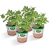 #9: Bonnie Plants Sweet Mint (4 Pack) Live Plants