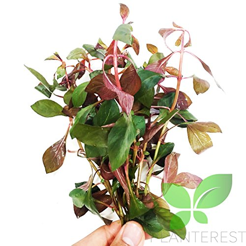 - Planterest - Potted Ludwigia Peruensis Red Diamond Live Aquarium Plant Stems Decorations BUY2GET1FREE
