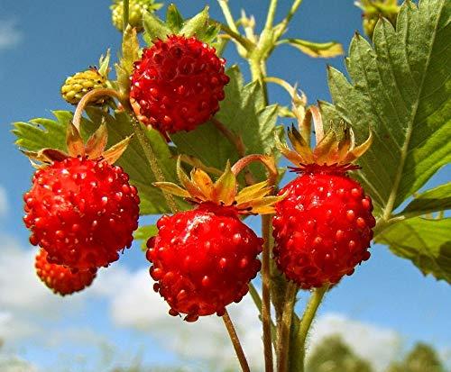 Wild Strawberries Organic Seeds Best Hybrid F1 Sweet Rare Everbearing up to 50 Seeds (Wild Strawberries Seeds)