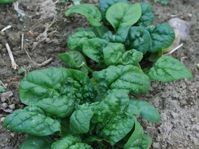 David's Garden Seeds Spinach Bloomsdale Winter D67013 (Green) 500 Open Pollinated Seeds