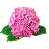 KAYI Hydrangea Macrophylla Flower Seeds Garden Plant Bonsai White Pink Red Blue 50 Pieces Home Ornamental