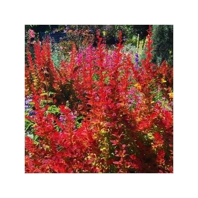 Berberis-Sunjoy-Tangelo-PWCC - QT Pot (Shrub) : Garden & Outdoor