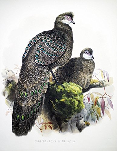 PHEASANT FROM TIBET, Polyplectron thibetanum, magnificent hand-colored lithograph.