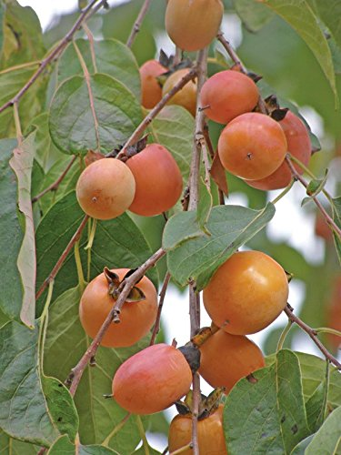 (2 Live and Healthy Persimmon Trees 12-18 Inches Tall)
