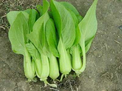Organic Heirloom 1000 Seeds Garden Chinese Cabbage Pak Choi Vegetable Plant Bulk Fresh Seeds F32