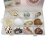 Leixson Natural seashells snail gift box juvenile children's Marine life science materials kindergarten gift for children's day.