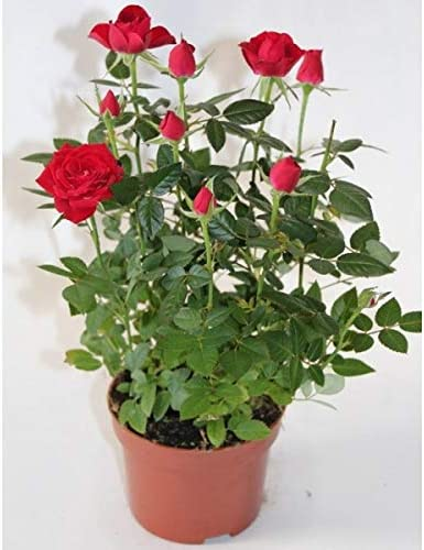 Rosal miniatura Pitimini (Rojo): Amazon.es: Jardín