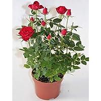 Rosal miniatura Pitimini (Amarillo)