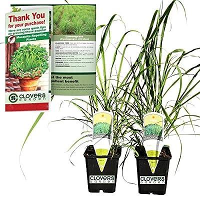 "Clovers Garden 2 Large Lemongrass Plants Live - Mosquito Repellent Plants 4""– 7"" Tall in 3.5"" Pots - Non-GMO Edible Medicinal Herb Cymbopogon Citratus : Garden & Outdoor"