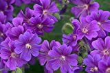 Geranium pratense 'Purple Haze' 10 Seeds-Perennial/Hardy/Amazing Foliage/Purple Flowers/Long Blooming