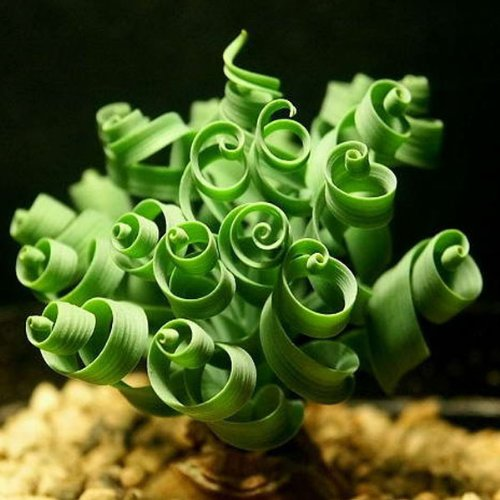 Price comparison product image 10PCS Spiral Grass Seed Shape Like Spring Interest Bonsai Plant (Random: Shape)