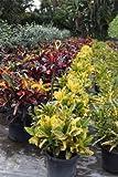 Codiaeum variegatum 'Yellow Petra', Croton - 3 Gallon Live Plant - 4 pack