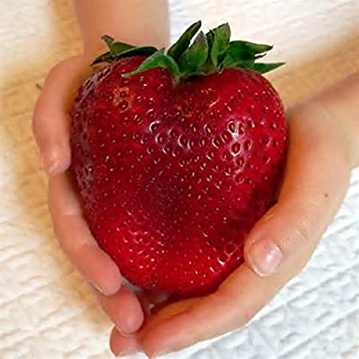 Giant Strawberry Seeds - 100Pcs Giant Red Strawberry Seeds Super Japan Strawberry Garden Seeds
