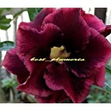 "100% Genuine "" Rachamoung "" Adenium Obesum Seeds - 5 SEEDS - Bonsai Desert Rose Flower Plant Seeds"