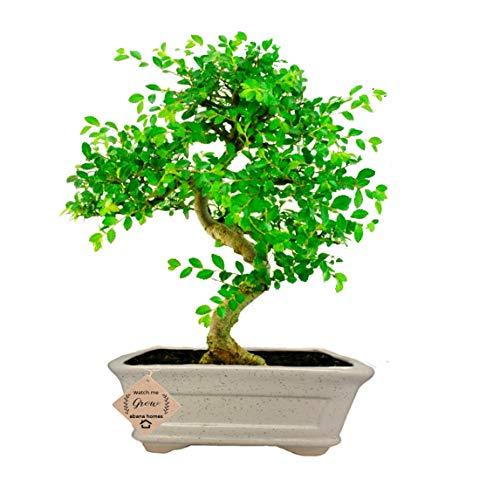 Abana Homes Ulmus Bonsai Plants Live in Pot for Home Decor – Diwali Gifts