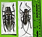 Wallace's Long-Horn Beetle Batocera wallacei Pair