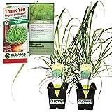 "Clovers Garden 2 Large Lemongrass Plants Live - 4""– 7"" Tall in 3.5"" Pots - Edible Medicinal Herb, Mosquito Garden Plant, Cymb"