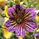 UR Gardening Seeds 30 PCS Chile Salpiglossis Sinuate Seed Morning Glory Seeds