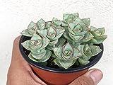 Crassula Perforata Necklace Vine String of Buttons Succulent Crassula, Crassula Rupestris, Rare Succulent Terrarium Plants, Unique Succulent
