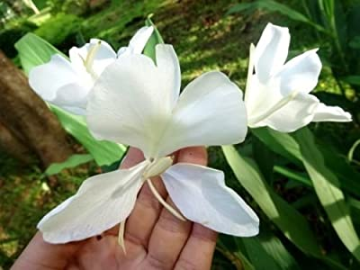 Tara-garden 1 RHIZOME WHITE BUTTERFLY GINGER ZINGIBER OFFICINALE VERY FRAGRANT FLOWER RARE