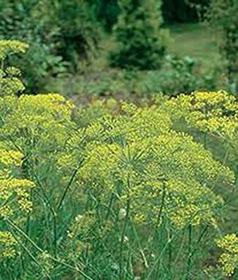 Stonysoil Seed Company Long Island Mammouth Dill Seeds