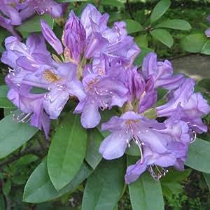 Rododendro ponticum - 1 unidad - 3Litros