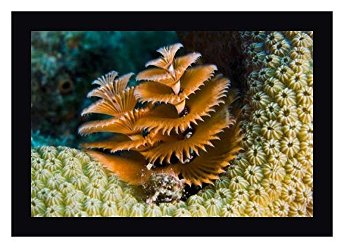 Christmas Tree Worm Filter Feeding While Attached to Great Star Coral, Bonaire, Netherlands Antilles by Pete Oxford 20