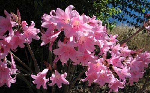 21 Amaryllis Belladonna - Pink Naked Ladies - Surprise Lily - 21 BULBS PER ORDER