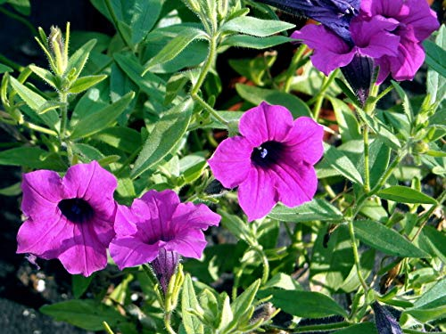 (Petunia,Wild Petunia, Purple Flower, Fragrant, 35 Seeds!)