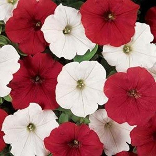 ~ Easy Wave O'canada Mix * Trailing Petunia * 20 Pelleted (Easy Wave)