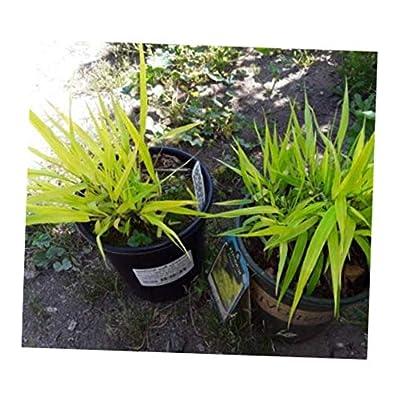 IVE 1 Live Plant Golden Japanese Forest Grass Hakonechloa macra 'Aureola' - RK2112 : Garden & Outdoor